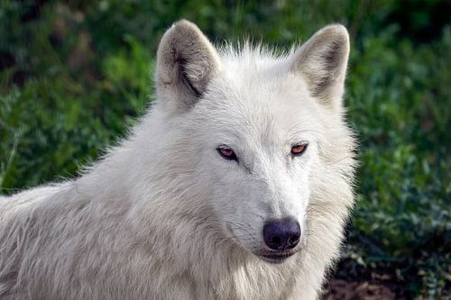 close up witte wolf