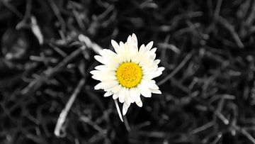 Die berühmte Blume Magrite (Schwarz-Weiß) von Be More Outdoor