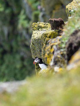 Papegaaiduiker voor zijn hol in de klippen van Kaap Ingolfshofdi, IJsland van Teun Janssen