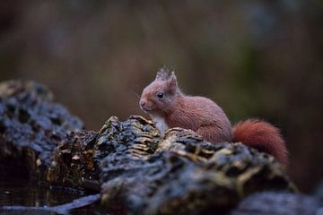 Eekhoorn van Anna Rose Hendrickx