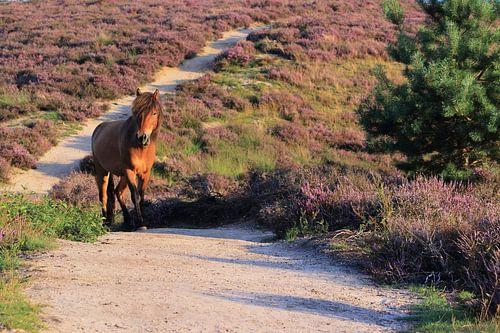Paard op de bloeiende Posbank heide