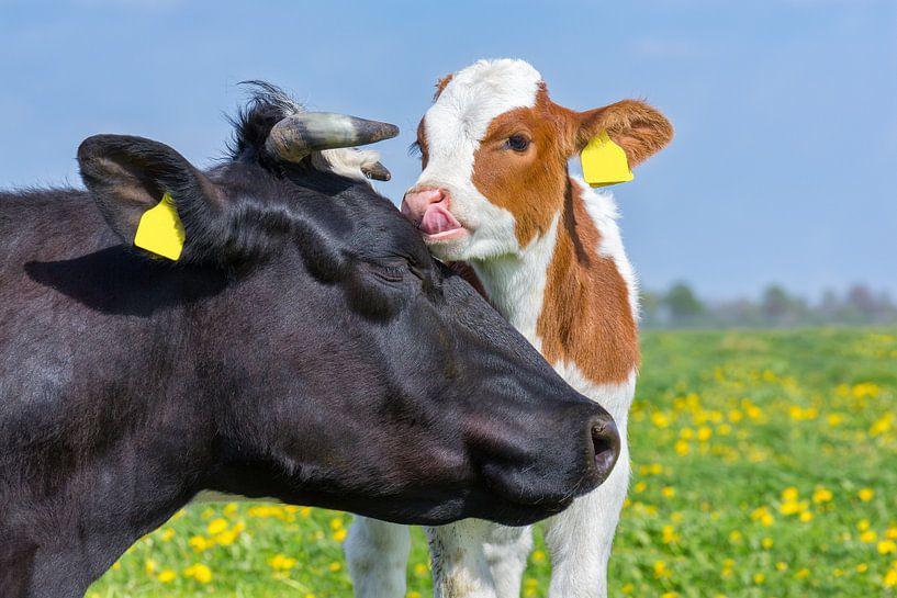 Köpfe der Mutterkuh und des neugeborenen Kalbs in blühender europäischer Weide von Ben Schonewille