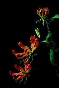 Sierlijke bloem  de Gloriosa van Leonie van den Udenhout