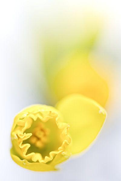 Soon it's spring ... (bloem, narcis) van Bob Daalder