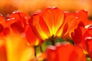 Oranje tulp van Peet Romijn