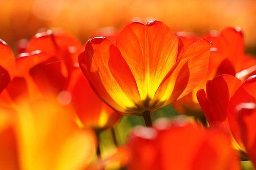 Oranje tulp von Peet Romijn