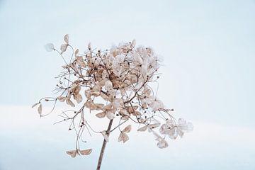 Hortensie im Schnee 7 von Ilse Dijkstra