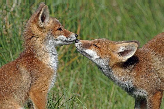Jonge vossen begroeten elkaar