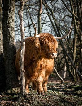 Golden Scottish Highlander van Milou Schothuis