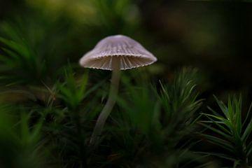 Licht in de duisternis tussen het mos, het groot mosklokje van Eric Wander