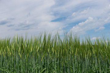 Nahaufnahme von grünem Getreide von Patrick Verhoef