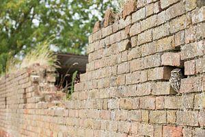 Kleine Eule in verfallener alter Mauer