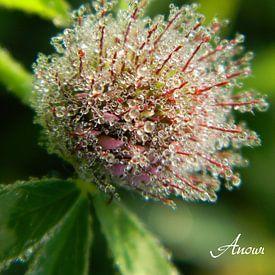 Kleeblüte von Iwona Sdunek alias ANOWI