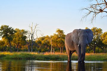 Elefant im Okavango-Delta von Amy Huibregtse
