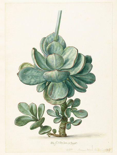 Succulente plant (Cotyledon orbiculata?), Herman Saftleven van Meesterlijcke Meesters