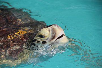 Zeeschildpad in Florida steekt kopje boven water van SaschaSuitcase