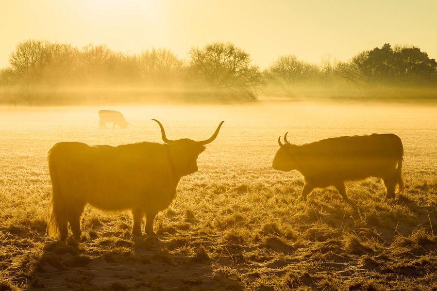 Gele wintermorgen met Schotse hooglanders