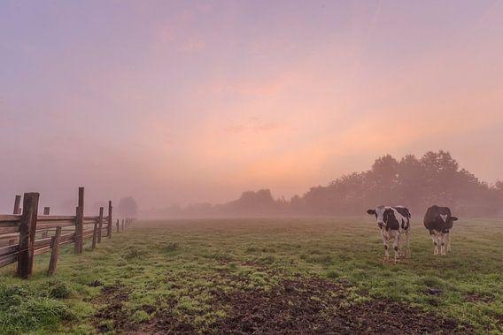 foto van een sfeervolle mistige kleurrijke zonsopkomst in een vlaams veld, een weide met koeien, Men