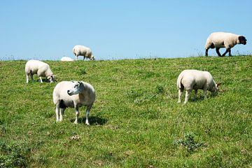een kudde schapen in de wei von Compuinfoto .