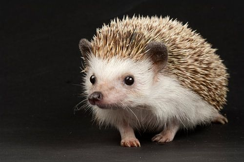 An African pygmy hedgehog