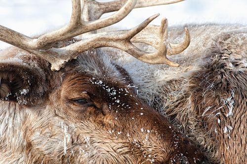Caribou - 35° C van Renald Bourque