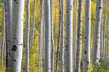 Birkenstämme im Wald zu Beginn des Frühlings von Roger VDB