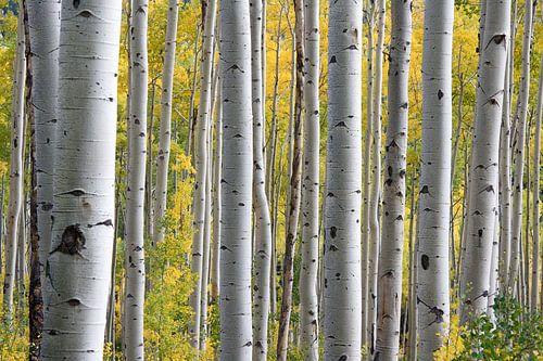 Berkenstammen in het bos tijdens de vroege herfst van