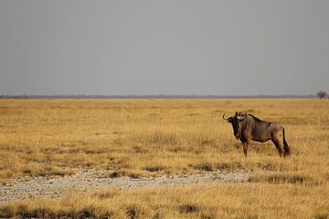 Einsame Gnus in Botswana, Afrika von Remco Phillipson
