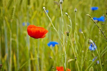 Mohn auf einem Weizengebiet von Jan Brons