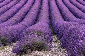 Lavendelbloesem in de Provence van Achim Thomae