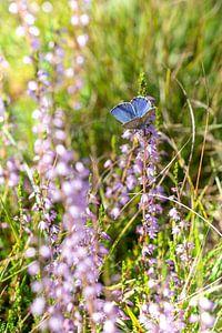Schönes Ikarusblau in der Heidelandschaft