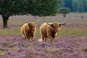Schotse hooglanders in de avondzon op Hilversumse heide van Karin Riethoven