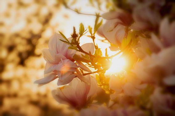 Roze bloemen van de Magnolia met een ondergaande zon