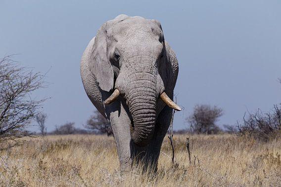 Olifant - Etosha National Park