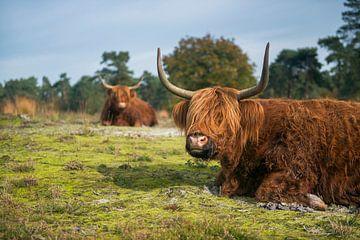 Highland Cattles *Bos primigenius taurus* van