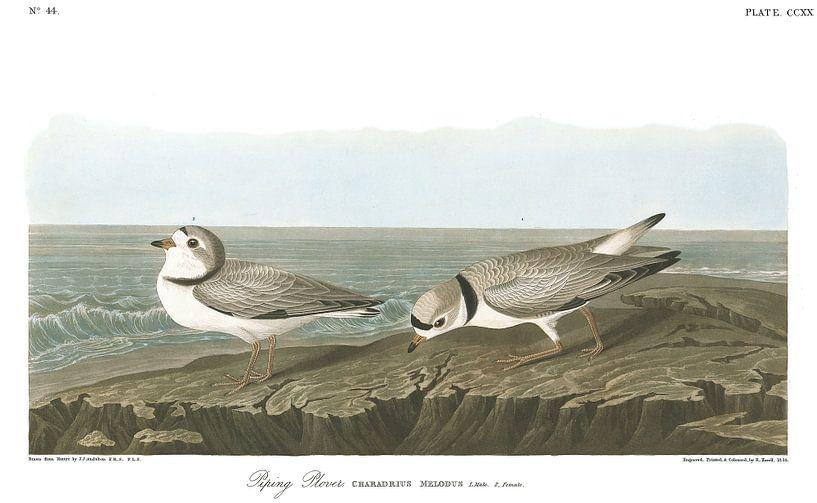 Dwergplevier van Birds of America