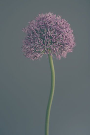 Frosted Allium