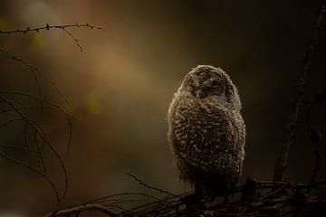 Junger Waldkauz im Licht von Erwin Stevens