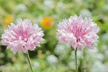 Roze korenbloemen naast elkaar in het zonlicht van J..M de Jong-Jansen