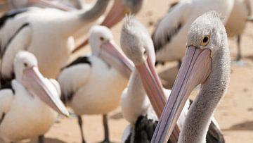 Pelicanen wachtend op voer, Philip Island von Chris van Kan
