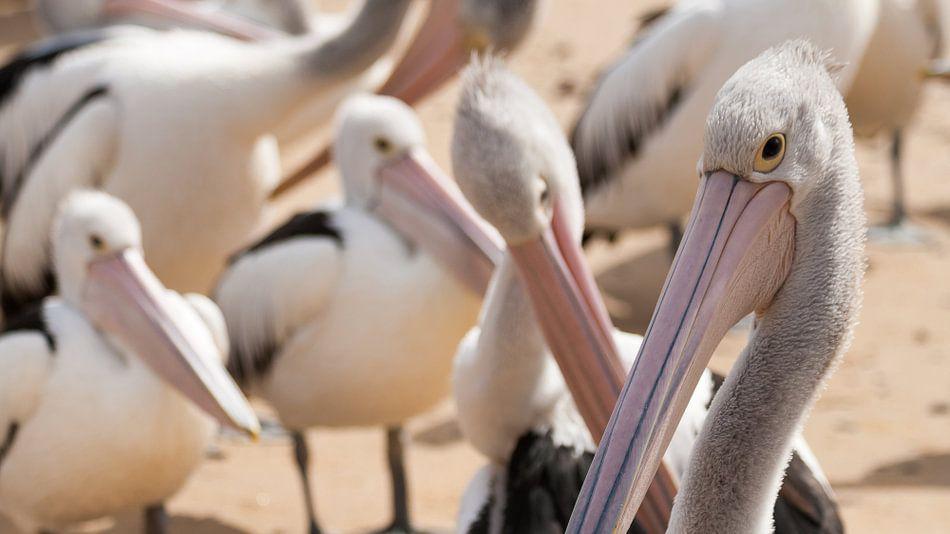 Pelicanen wachtend op voer, Philip Island