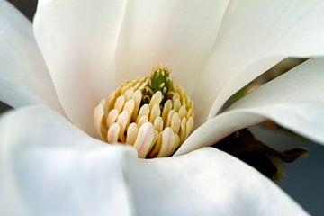 Magnolia von José Verstegen