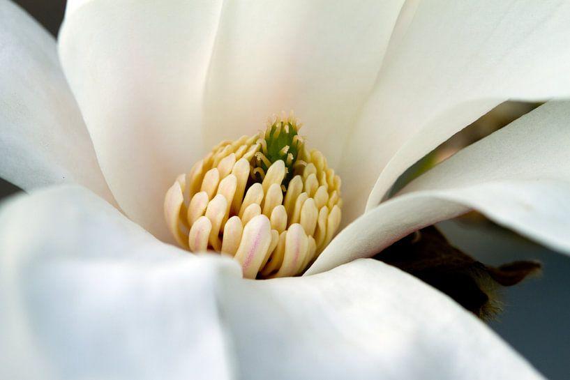 Magnolia sur José Verstegen