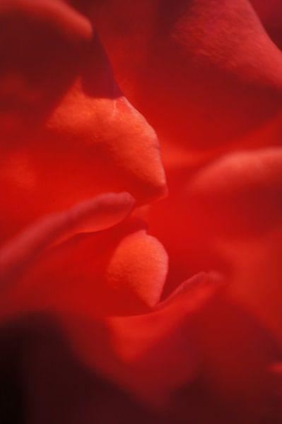 Rose I von Tina Hartung