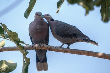 Pigeon Love van BL Photography