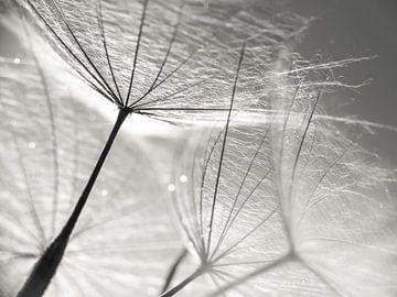 Pusteblume Schirmchen schwarzweiß von Julia Delgado