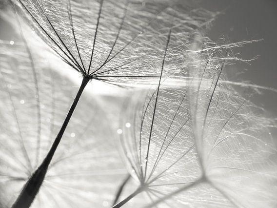 Pusteblume Schirmchen schwarzweiß