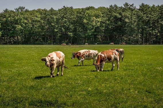 The angry bull - Stier en koeien