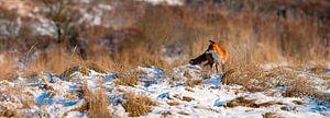 Fox im Schnee Panorama