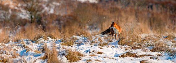 Fox im Schnee Panorama von Anton de Zeeuw